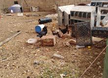 دجاج بكستاني للبيع