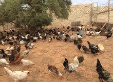 دجاج عربي وفيومي امخلط