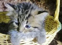 قطط شيرازي أمريكي رائعة