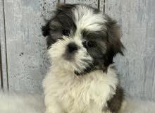 Pure shih tzu puppies