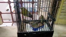 طائر الخضري