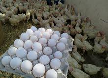 دجاج هولندي بياض (لوهمان)
