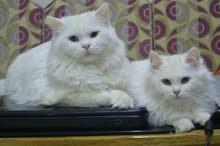 قط شيرازي عدد 2