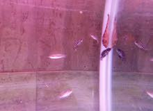 سمك جاقور 5cm