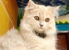 قطة شيرازية بيور ((أنثى))