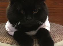 Black Scotish fold