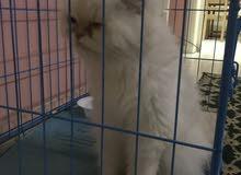 قطه هملايا بيكي فيس