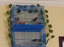4 طيور كناري للبيع