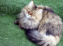 قطط شيرازي بيور تربية منزل