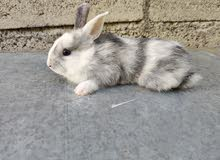 ارانب مثل الهامستر rabbits like hamster