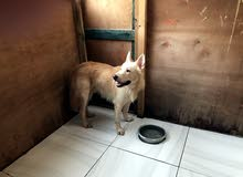 كلب هاسكي العمر سنة