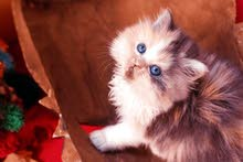البيع قطة هاف بيكي نتاية مستوردة من الخارج
