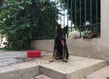 كلب جيرمن لونج هير 3 شهور