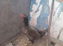دجاجه هندي رس قوي