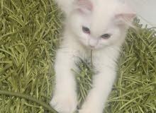 قطط شيرازي صغيره تربية منازل للبيع 60602253