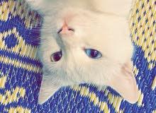 قطة للبيع من ام شيرازية