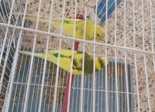 طيور فاجو للبيع