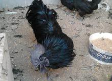 دجاج لامبرجيني و براهمة