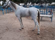 حصان واهو من غير اوراق