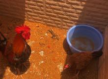 للبيع ديك ودجاج بلدي بياض
