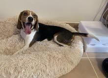 pure bred beagle