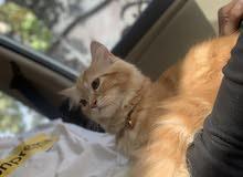 قطوس فارسية (موني فيس)