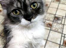 قطة هملايا انثى