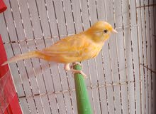 mâle canari