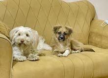 كلب انثى تيرير وكلب ذكر لولو فوكس