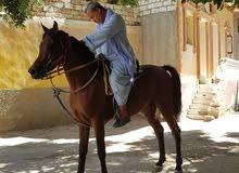 خيل عربي اصيل بالشهاده العمر عامان