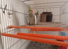 للبيع 2 طيور كوكتال