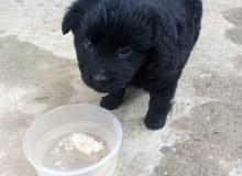 كلب بلاك جرمني