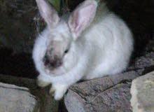 اخوان من يعرف هذا النوع وكم سعره هو أرنب اوربي