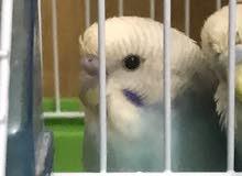 طيور حب على وشك الانتاج بسعر طري