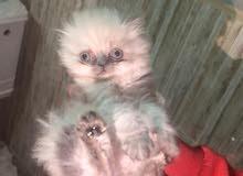 قطط هيملايا للبيع 100 قابل للتفاوض