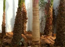 يوجد لدينا نخيل جثايث صقعي برحي سكري خلاص  واشجار الزينه واشنطونيا