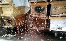 انشاء مناحل عسل وبيع خلايا النحل بالكويت   50733026