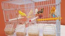 طيور كنري