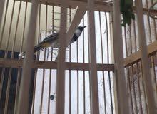 بلبل وحشي خشن مال البصره شرط الحجي ثكيل طير  ثكيل ولغات قديمه سعره150هوه والقفص