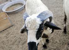 خروف كيف مبدل عمره سنه وشوي