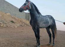 للبيع حصان أزرق 87% بعمر 4 سنوات
