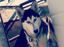 كلب هاسكي انثى عمر 11 شهر للبيع