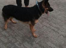 كلب جيرمان شيبرد أصلي غير مهجن للبيع