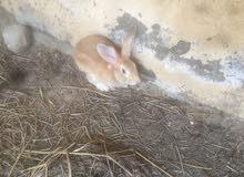 زوج أرانب هولندية للبيع