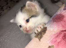 قطط صغيره للبيع الحجز بعربون