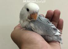 للبيع طيور حب اليفة