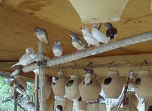 للبيع طيور الزيبرا منتجات 100٪