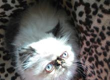 قطة هيمالايا بيكي فيس شوكليت بوينت