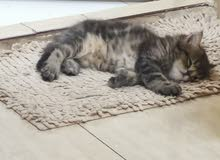 قطط شيرازية صغيرة ، kitten