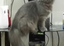 للبيع  قطه  شيرازى هولندى